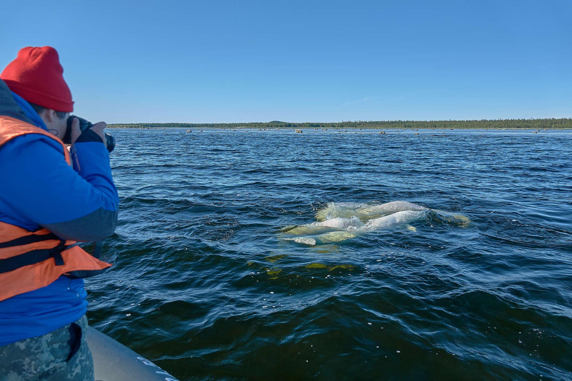 Соловецкие острова: белухи, тюлени и прогулки с зоологом